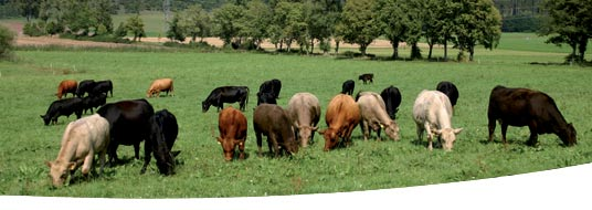 Shire Meadows - Quality Beef you can trust